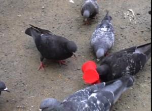 50羽の鳩に帽子を贈る
